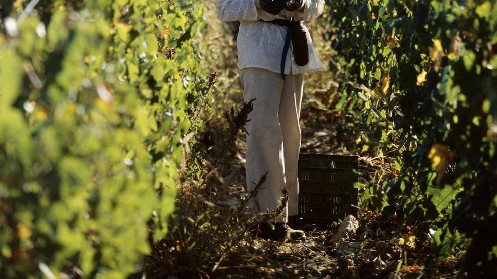 Av Toscanas vindistrikt är Chianti det mest kända och av mer än 60 000 hektar vingårdsareal går hälften till kvalitetsviner.