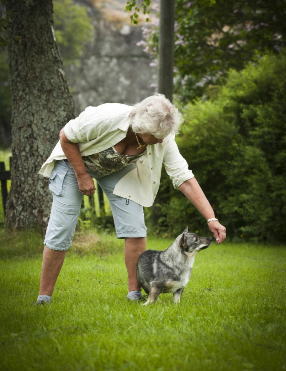 """TRICK: SNURRA RUNTSteg 1: Tydliga rörelser. Håll  lockbetet i handen strax framför/över hundens nos och gör en tydlig  rörelse i en vid båge åt det håll du vill att hunden ska röra sig.  Hunden kan stå eller sitta, beroende på vad som passar din hund bäst.  Belöna direkt när hunden gör rätt. Säg """"snurra"""" samtidigt som du gör  armrörelsen. Upprepa tills hunden har förstått."""