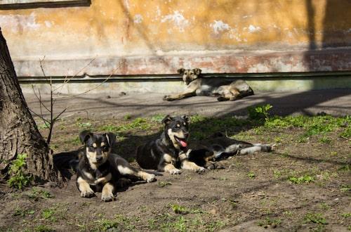 Hundar smittar många människor med rabies.