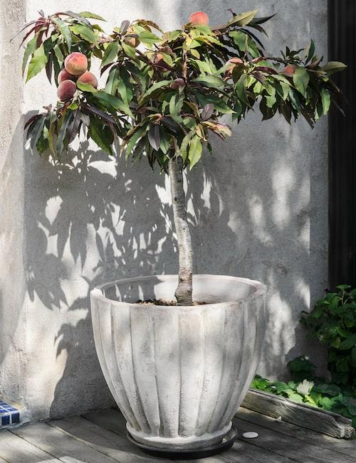Rödbladig dvärgpersika i ett vindskyddat hörn. Under vintern står den frostskyddad i växthuset. Maria gör persikomarmelad av frukterna. Krukan är från Åbergs trädgård i Ystad.