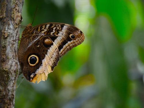 Det finns ett häftigt djurliv här – Caligo Owl Eye är den största fjärilen i landet.