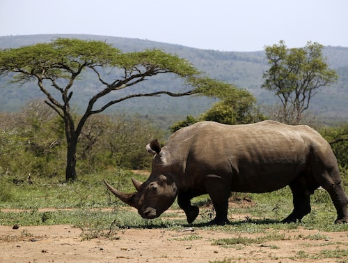 Ingenstans i världen finns det så många noshörningar som i Hluhluwe-Umfolozi.