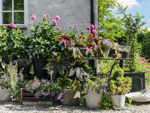 Vid ingången till trädgården har Maria planterat rosa dahlior i stora krukor. Här finns också lobelia, afrikansk margerit och femtunga. De stora mörka bladen är rödbladig ricin.