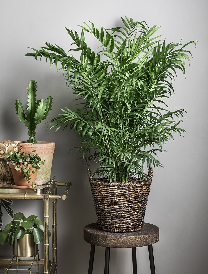 Bergpalmen gör stor comeback 2017. En mycket elegant, lättskött palm med ljusgröna blad, Den är också en bra luftrenare och bidrar till bättre inomhusklimat.