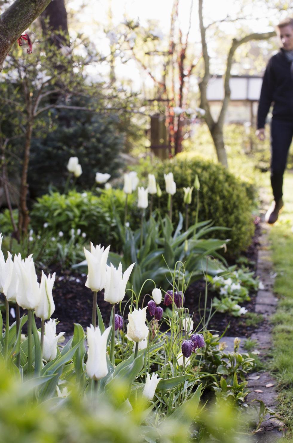 Rabatten på framsidan går mest i vitt. Här liljetulpan i kombination med kungsängslilja, som ju är både mörkröd och vit. En fin kombination!