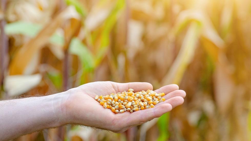 Plantera popcornkärnorna i en kruka, och du kan vänta dig små plantor redan efter några dagar.