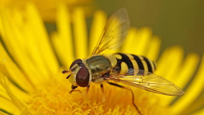 Sorgmyggan (Sciaridae) kallas ibland felaktigt för blomfluga. Blomflugan (Syrphidae) ser mer ut som ett bi och är en viktig pollinerare i trädgården.