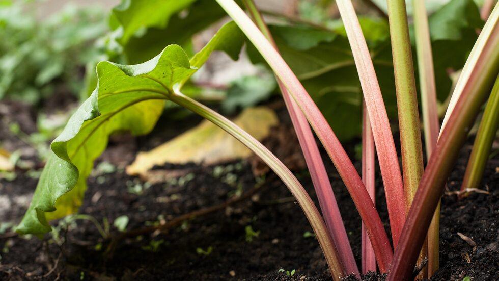 Rabarber är en av de lättaste växterna att odla. Ge dem rätt förutsättningar, så kommer de i princip sköta sig själva.
