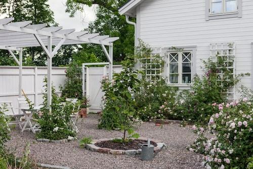 Ett skyddat uterum med en rosenpergola med småblommiga vita klätterrosor har skapats vid mormors hus, som också får plats på tomten. I mitten står en magnolia. Den doftande rosen till höger heter 'Celsiana'.