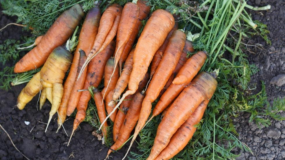 Underbara morötter! Odla morot är både roligt och lätt. Det bästa är när du får äta dina egenodlade morötter. Här förklarar vi hur du lyckas med dem.