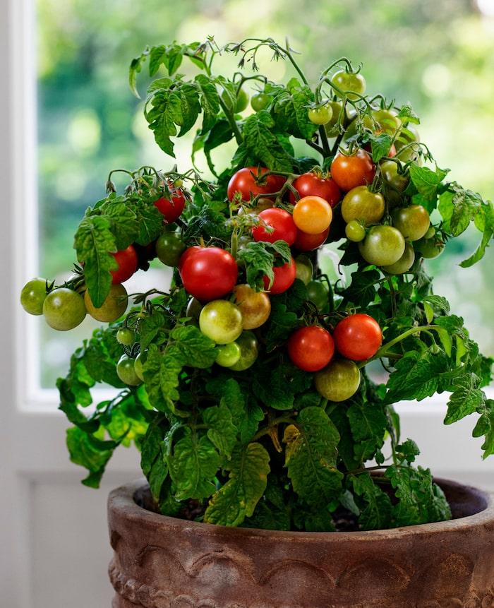 Välj små busktomater om du vill odla tomater hemma i fönstret.