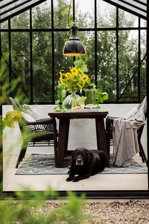 Labradoren Theo vilar i växthuset där det är dukat för septemberfika. Bordet kommer från en butiksutförsäljning. Stolar, Ikea.