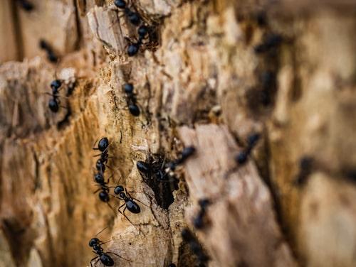 Kanel ska vara ett bra, och miljövänligt, medel för att få bort myrorna.
