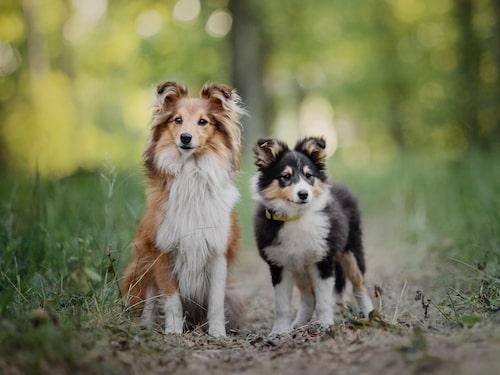 Shetland sheepdog är en lite större hund bland de små raserna.