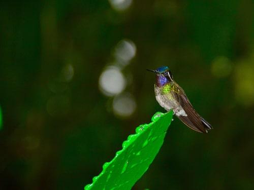 Kolibrier kommer du väldigt nära i fjärils-och kolibriparken i Monteverde.