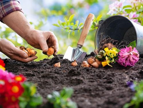 Glöm inte att sätta vårlökarna på hösten, för att få fina vårblommor nästa vår.