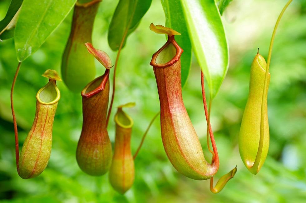 Kannranka. Insekterna lockas till nektaren men när de väl landat blir de berusade och trillar ned i kannorna och bryts ned av enzymet pepsin.