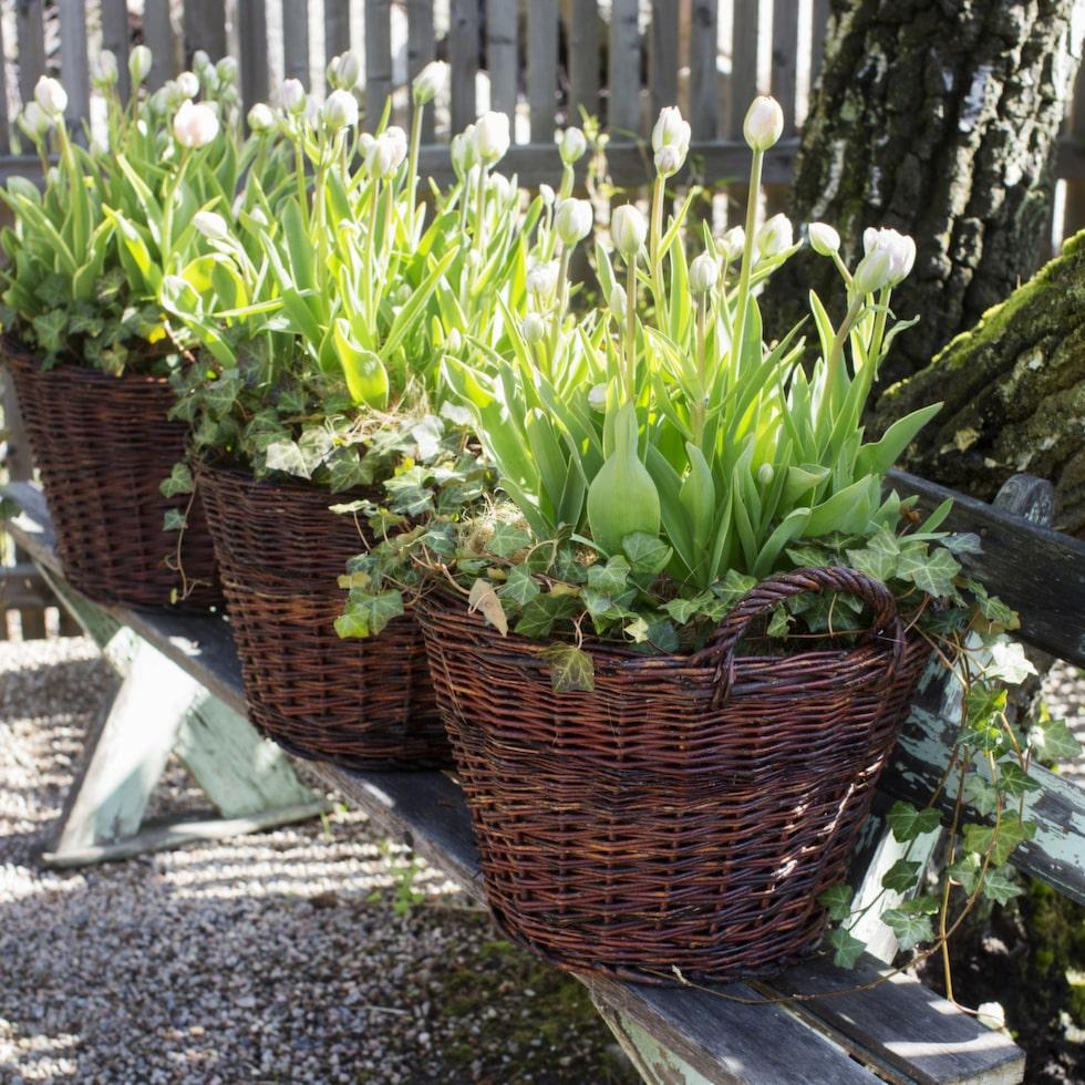 Masseffekten av tulpaner ska inte underskattas! Viktoria fyllde korgarna med lökar på hösten och ställde dem i carporten i väntan på våren.