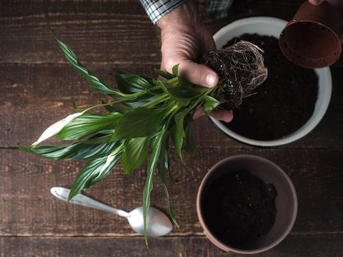Plantera om gör du på våren.