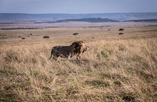 Under delar av året är det gott o gräsätare i Masai Mara, då håller sig också lejonen framme.