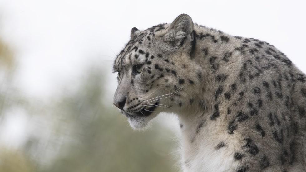 Även den Europeiska snöleoparden riskerar att dö ut.