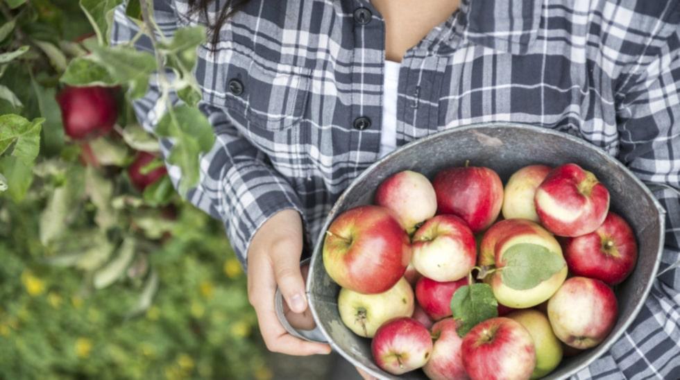 För dig som har äppelträd i trädgården har det blivit dags att plocka fram sekatören.