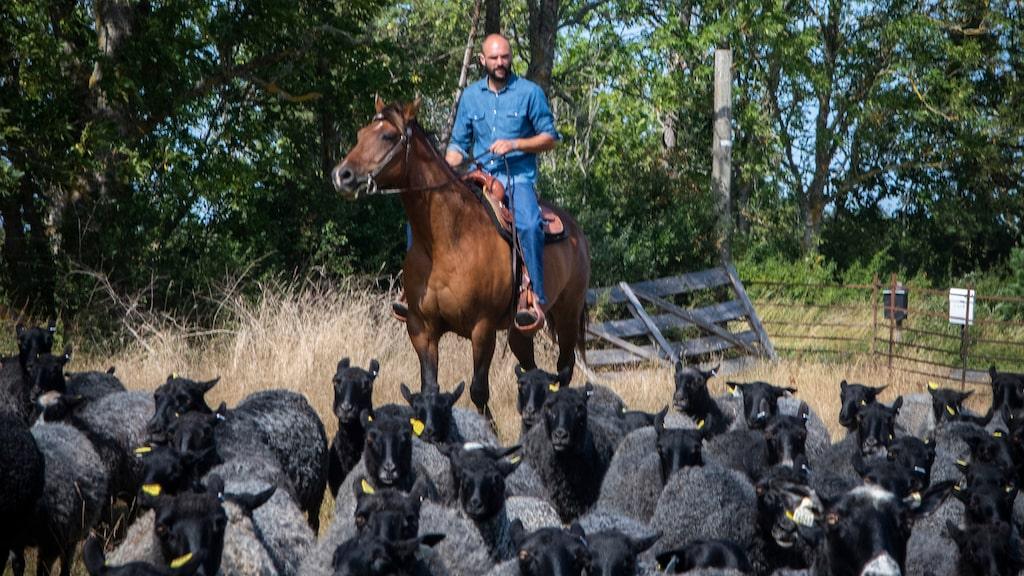 Lammbonden Torbjörn Svensson i Västergarn driver sina får till häst och levererar köttet till restaurangerna på Gotland.