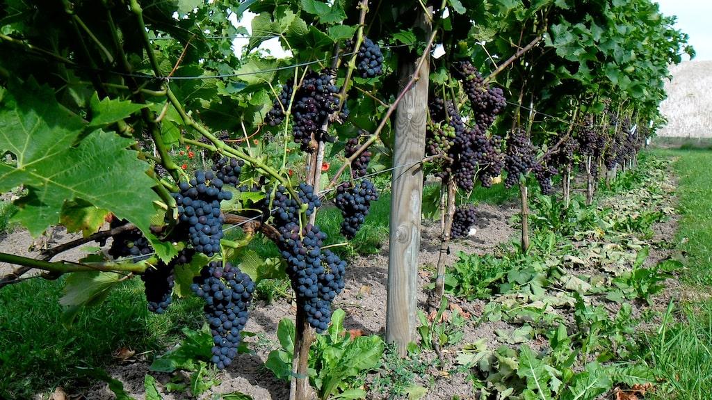 Snårestad Vingård en liten och ambitiös vingård, med eget vineri.