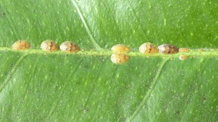 Sköldlöss är vanligtvis gulbruna eller svarta. Sköldarna är ungefär 2-5 millimeter stora och kan sitta vartsomhelst på växten.