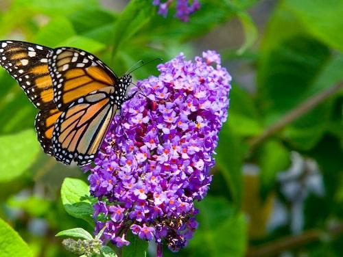 Buddleja davidii, syrenbuddleja, kallas även fjärilsbuske eftersom den lockar till sig mängder av fjärilar, är vanlig i svenska trädgårdar. Men de ska du se upp med enligt experten.