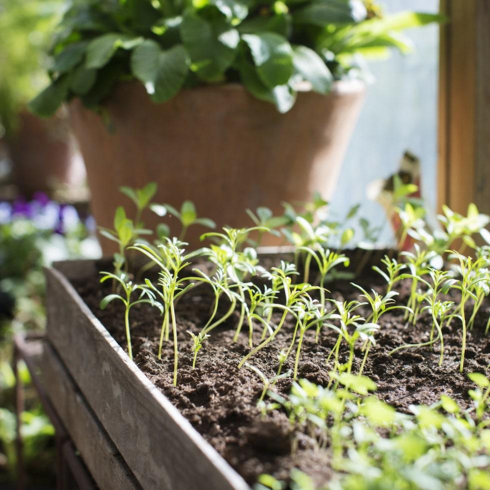 Inne i växthuset spirar vårens första små plantor.