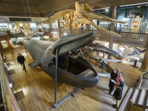 Malmska valen är världens enda uppstoppade blåval, sedan 1918 utställd på Göteborgs naturhistoriska museum.