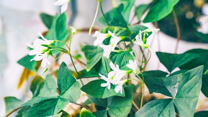 Lyckoklöver har ett spretigt bladverk och små vita eller rosa trattformiga blommor.