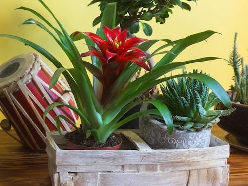 Bromelia (den röda blomman) ingår i ananasfamiljen, eller Bromeliaceae på latin. Det är en stor familj av färggranna växter från amerikanska kontinenten och Karibien.