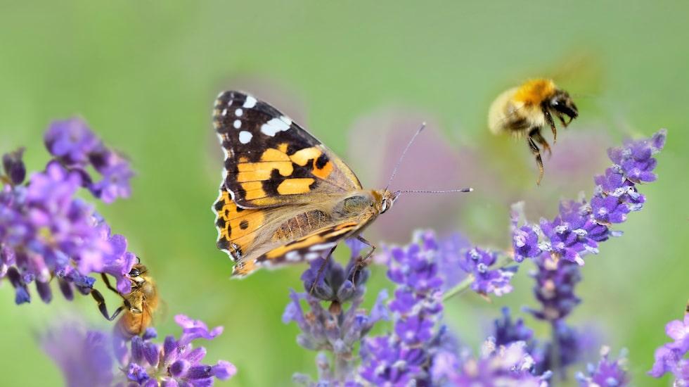 Lavendel lockar till sig både fjärilar och bin.