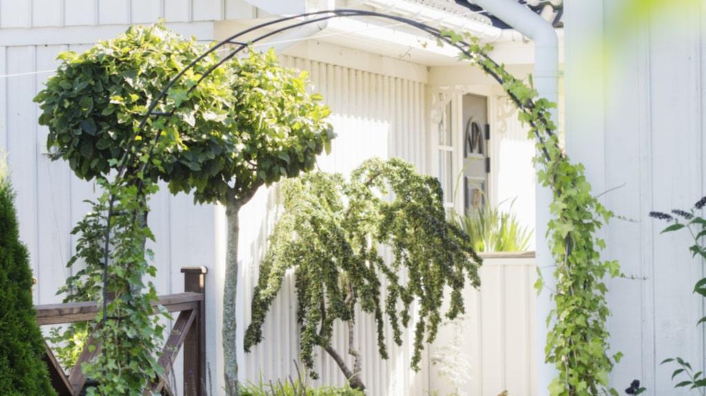 <p>Gången mellan huset och carporten är inte bortglömd. På bågen syns murgröna, till höger en aroniahäck. Mot husväggen syns en Cotoneaster som Stefan och Susanne drivit upp från ett rotskott.</p>