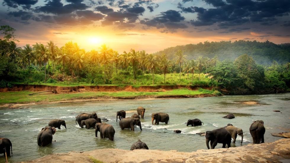 <p>En flock elefanter tar ett dopp i en Sri Lankas floder.</p>