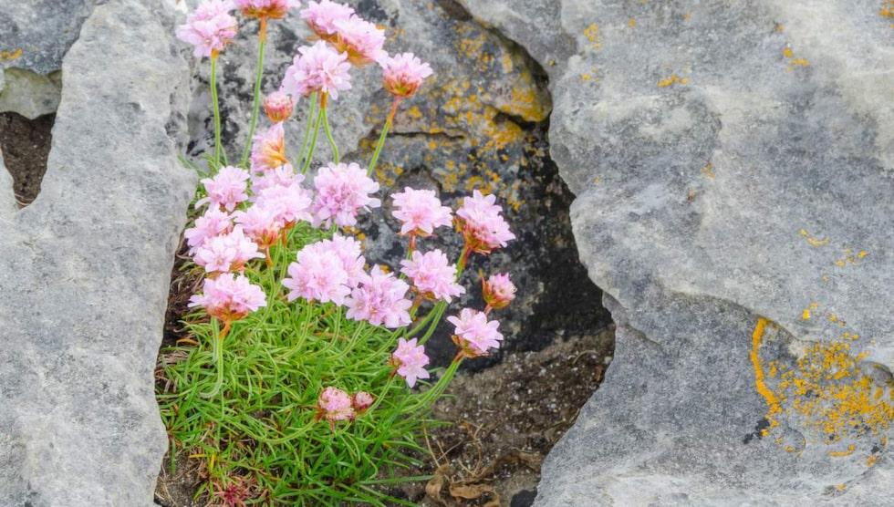 Även i det karga landskapet lyckas blommorna överleva.