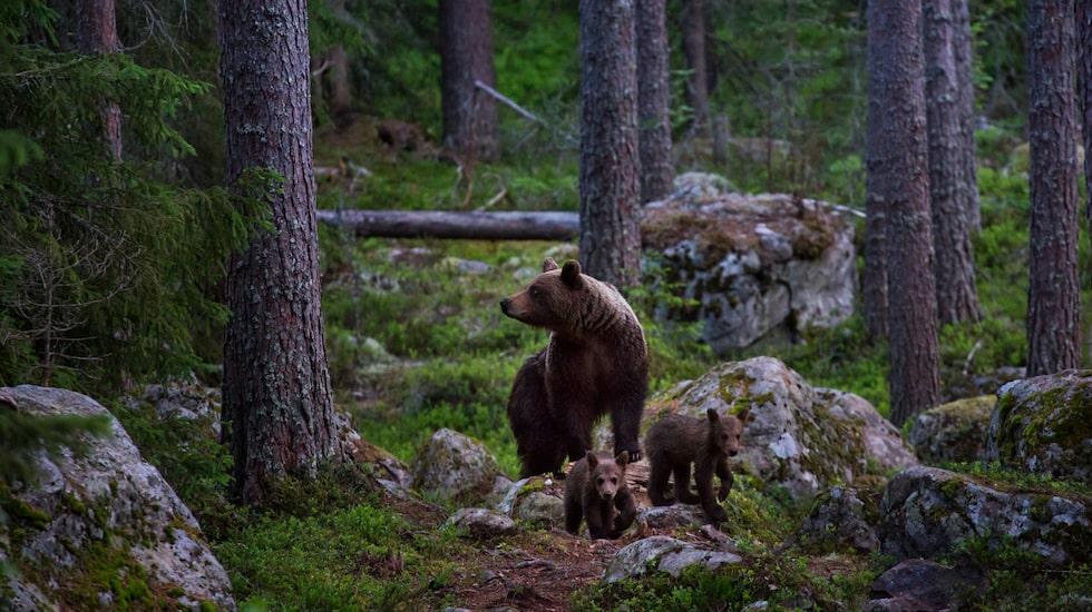 Efter timmar av väntan dyker de plötsligt upp - en björnhona med två årsungar. Ljudlöst och mäktigt.