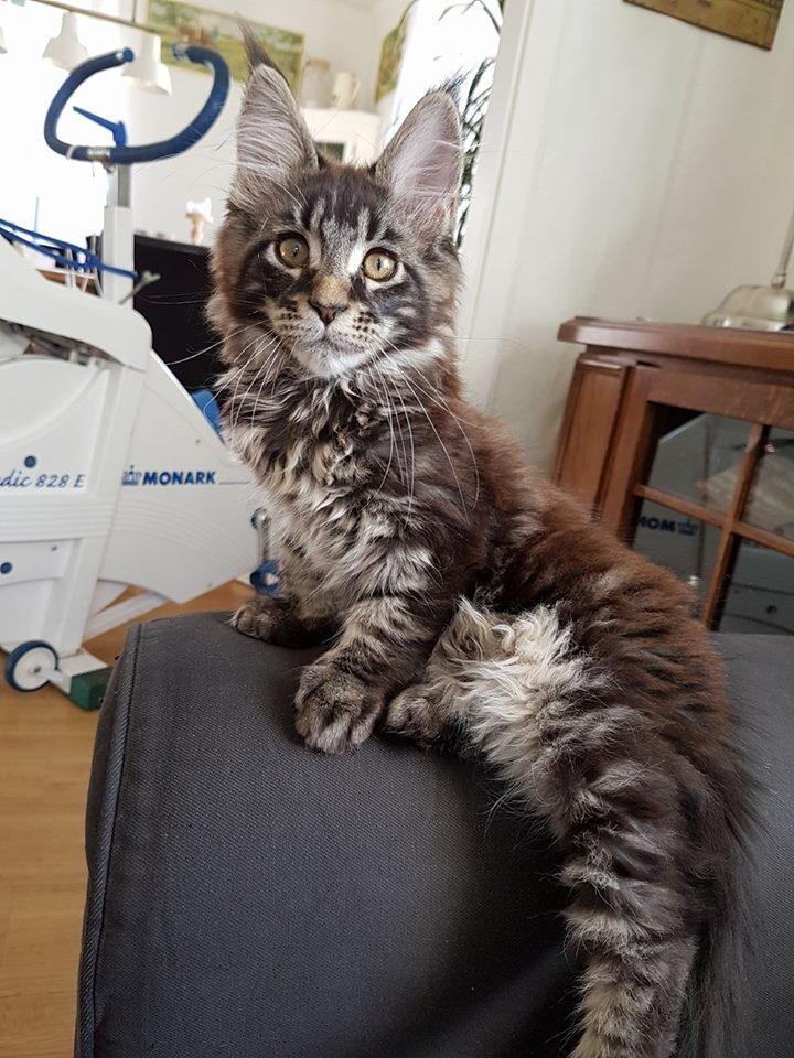 Innekatten Svante älskar sitt nya katt-träd.