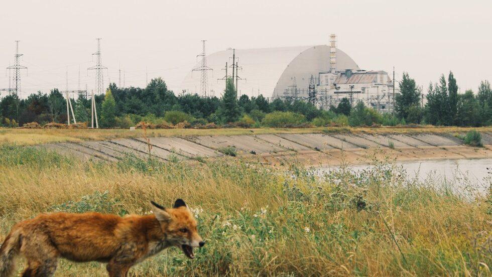 Numera har de vilda djuren erövrat stora delar av det nästan öde området kring kärnkraftverket.