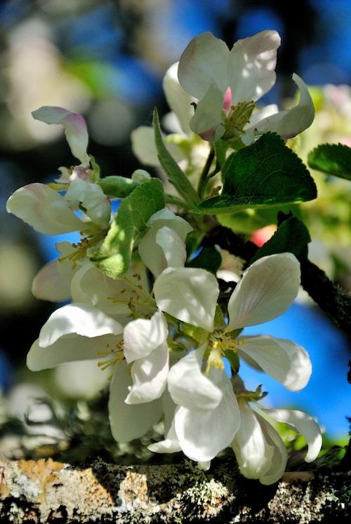 Vackert möte mellan gammal, mossig äppelgren och nya skira blommor.