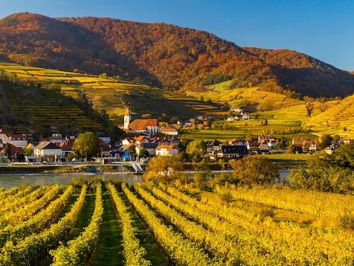 En tredjedel av landets vinproduktion består av röda viner. Här en vingård i regionen Wachau.