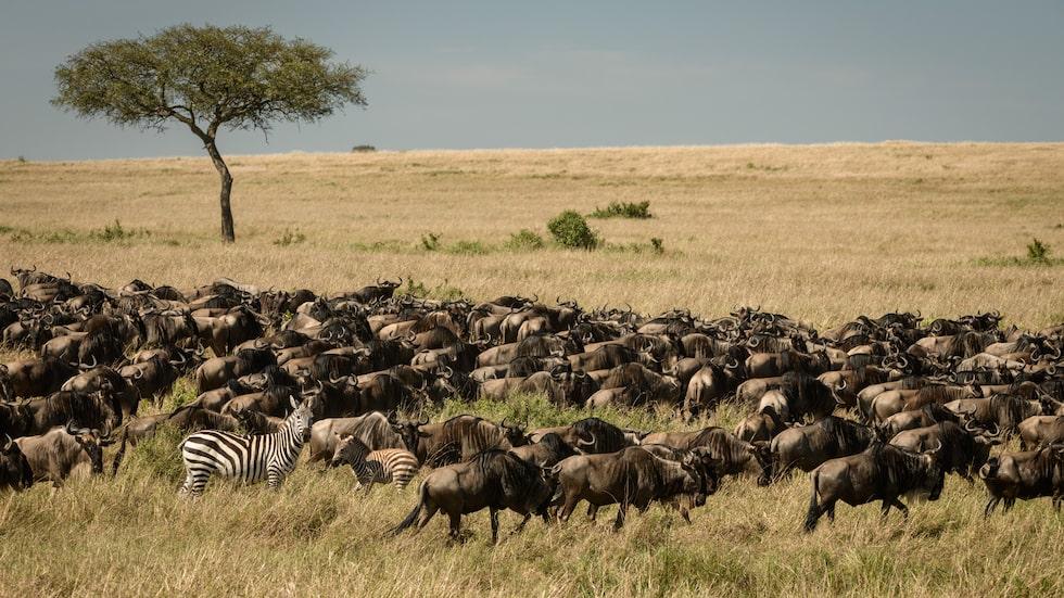 """Den årliga så kallade """"stora migrationen"""" då uppemot en miljon gräsätare vandrar i Masai Mara i jakt på nya betesmarker är en av världens största naturupplevelser."""