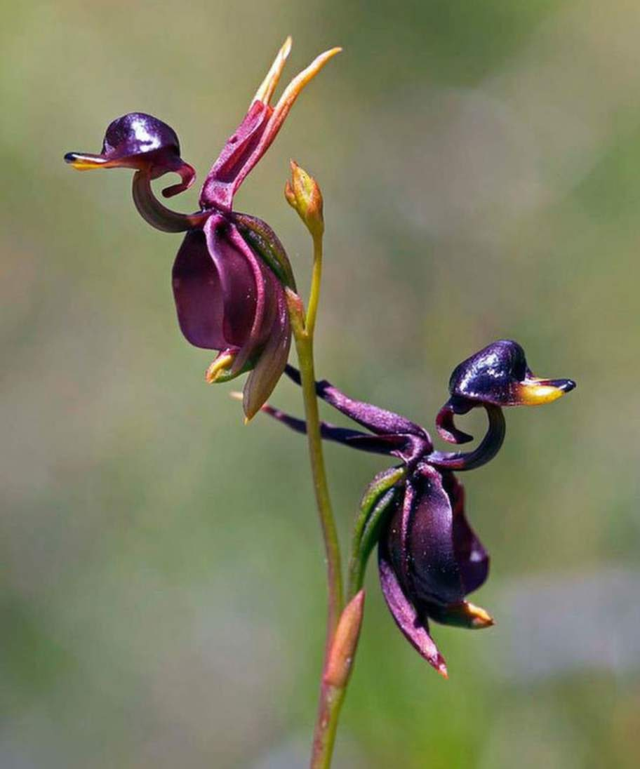 Flying Duck Orchid (Caleana Major)Källa:Michael Prideaux