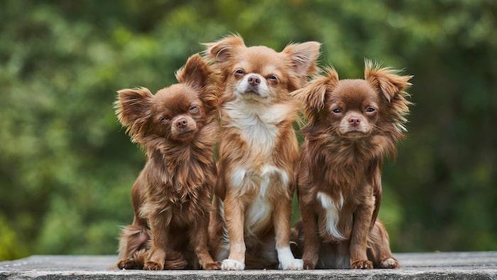 Chihuahua är en pigg och alert hund och finns både som långhårig...