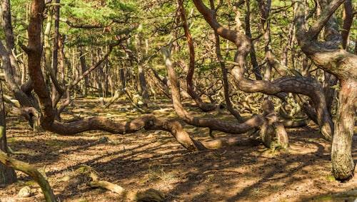 Trollskogen Öland. Träden har varit så hårt pinade av väder och vind att de inte kunnat växa normalt.