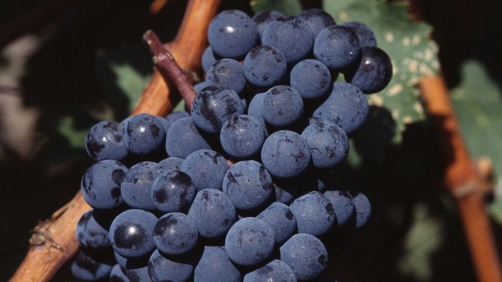 Cabernet sauvignon-viner passar till många kötträtter.