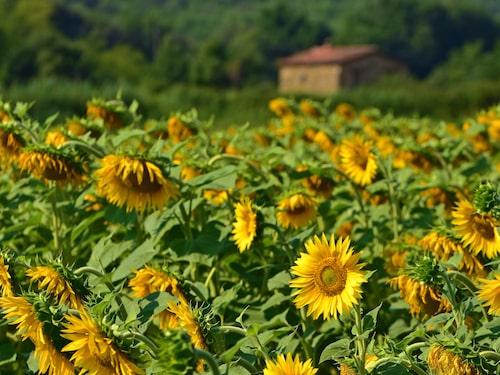 Solrosodlingar konkurrerrar med vin och lavendel utanför Aix-en-Provence i Frankrike.