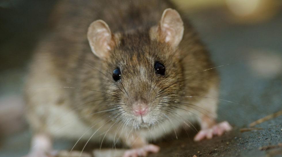 Förutom råttor kan man hitta en hel del konstiga saker i våra avloppsrör....